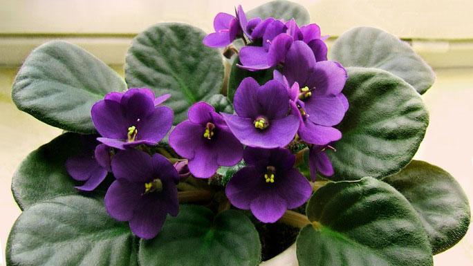 African Violet Queen